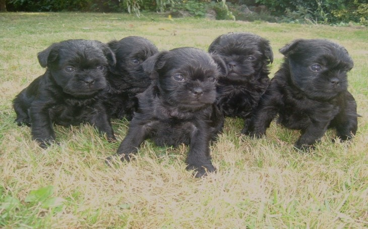 Characteristics of Affenpinscher Puppies.