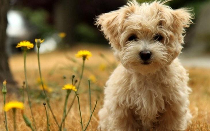 Guide to Train Affenpinscher dogs.