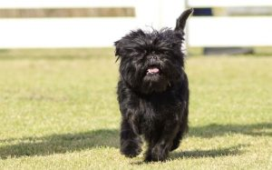 An Affenpinscher dog in a garden.