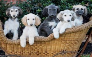Afghan Hound Puppies Information.