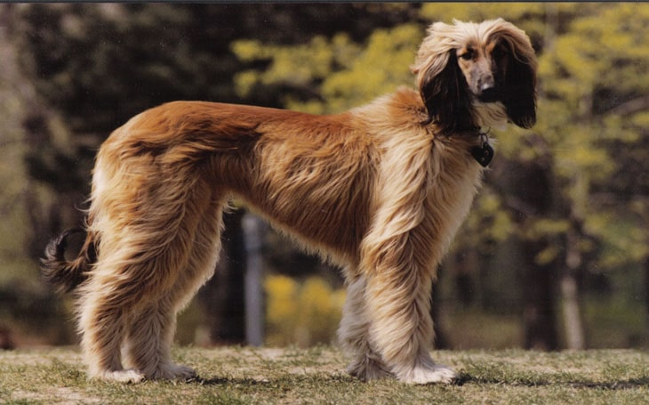 All about Afghan Hound Breed-Origin, Behavior, Trainability, Facts
