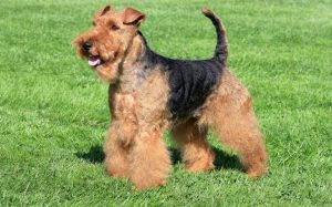 Airedale Terrier dog is standing in a park.