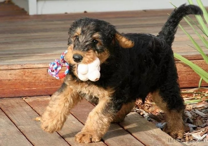 Airedale Terrier Puppy Playing.