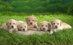 Five cute little Akita puppies