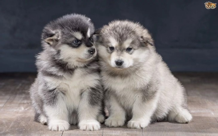 Alaskan Puppies are very cute and active