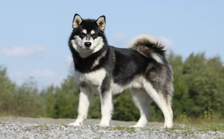 History and Origin of Alaskan Malamute Dogs.