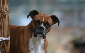 Boxer Dog Breed History And Behavior.