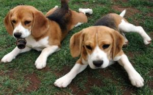 Cute little American English Coonhound Puppies.