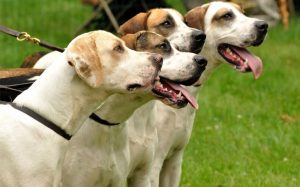 Four American English Coonhound dogs are looking towards the right direction.
