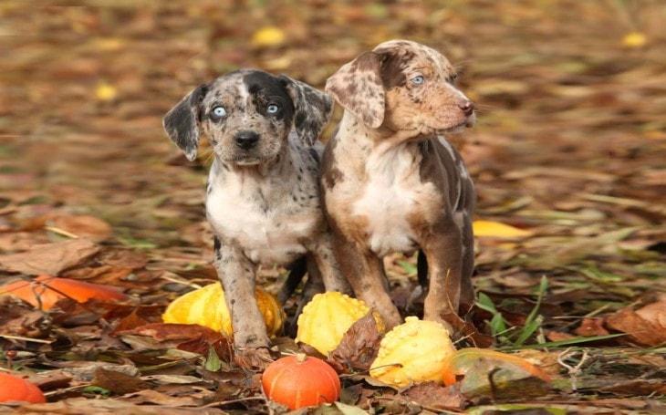 American leopard Hound Pups are intelligent since birth