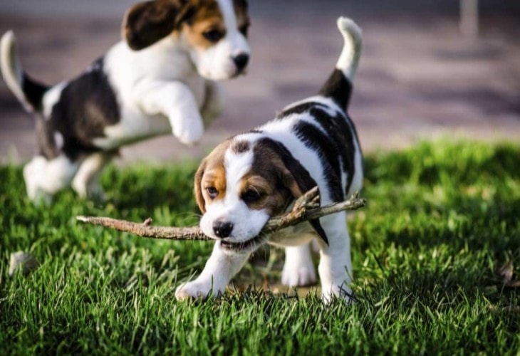 American Foxhound Puppies Are very Playful