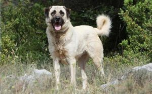 Anatolian Shepherd Training Strategies.