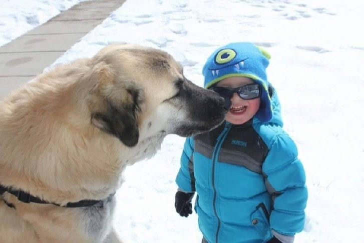 Anatolian Shepherd Enjoying In Snow With A Kid.