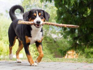 Appenzeller Sennenhund Running