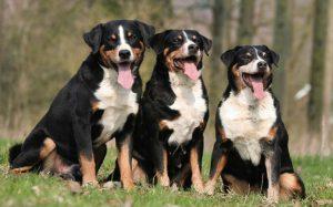 Training Method of Appenzeller Sennenhund in home.