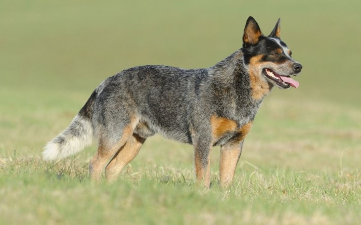 Origin and History of Australian Cattle Dog.