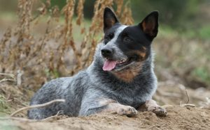 Australian Cattle Dogs are guarding dogs.