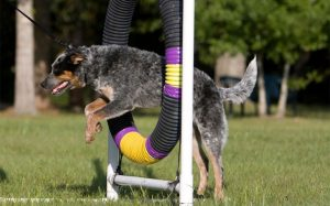 An Australian Cattle Dog is jumping through an obstacle.
