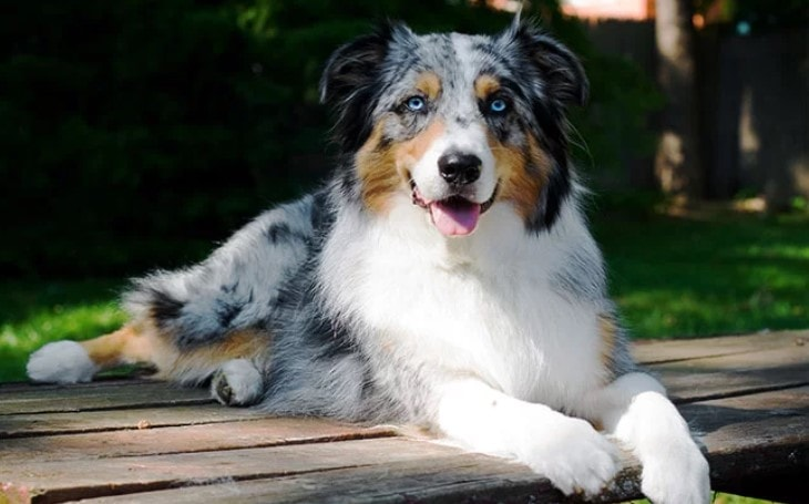 Behavior of Australian Shepherd DOg Breed.