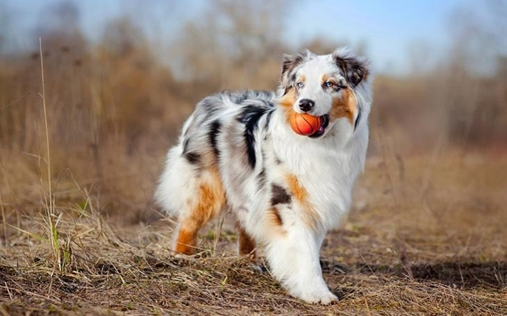 methods to train australian shepherd dog