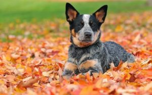 Australian Stumpy Tail Cattle Dog.