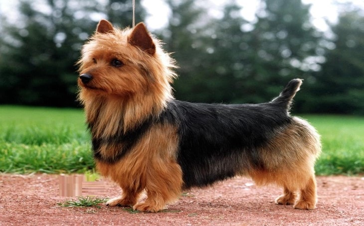 Origin and History of Australian Terrier Dog Breed.