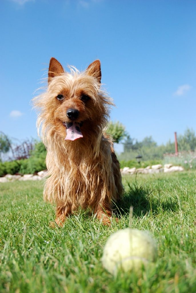Australian Terrier The Small Sized Dog