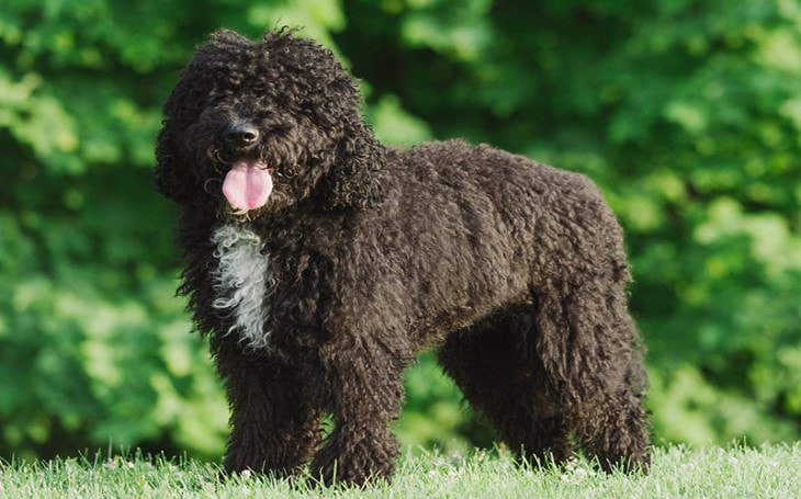 History and Origin of Barbet Dogs.