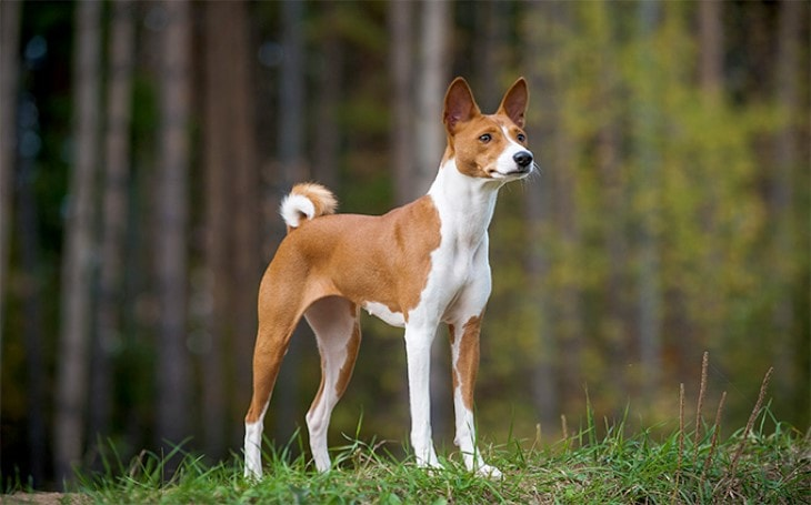 Origin and History of Basenji.