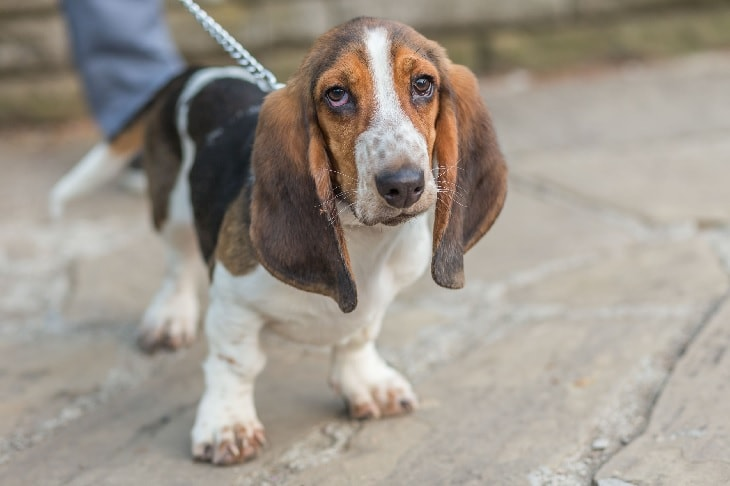 Basset Hound Giving His Cute Expression.