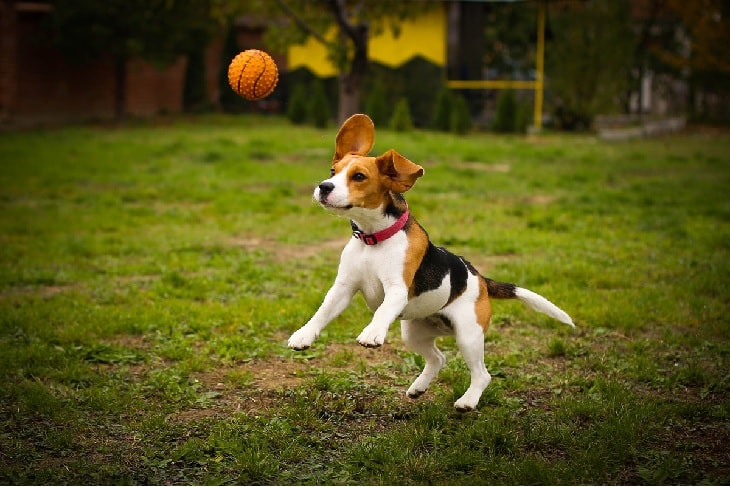 A Beagle Dog playing ball.