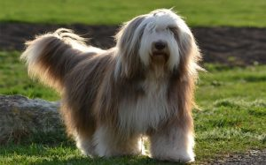 A bearded Collie in a garden.
