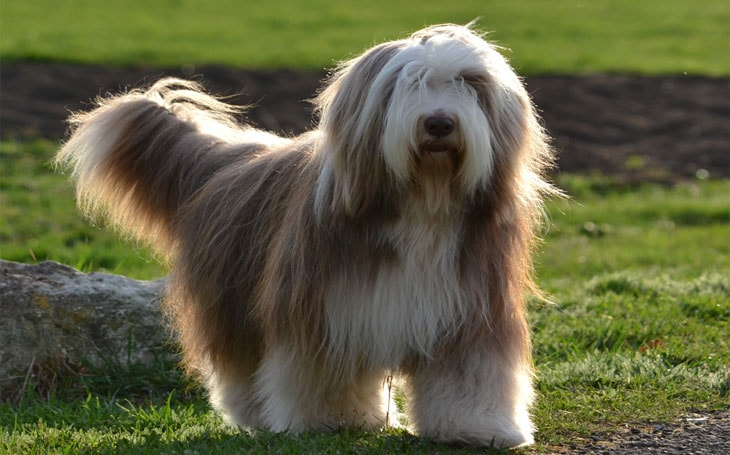 All About Bearded Collie Dog Breed