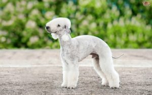 Bedlington Terrier looks like Lamb