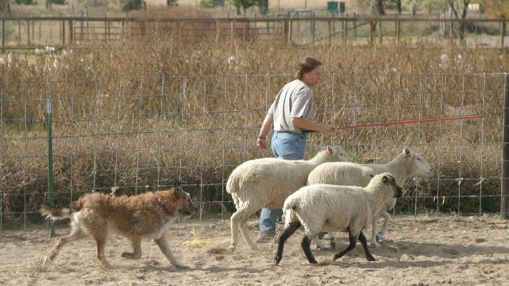 Belgian Laekonis are herding dogs.