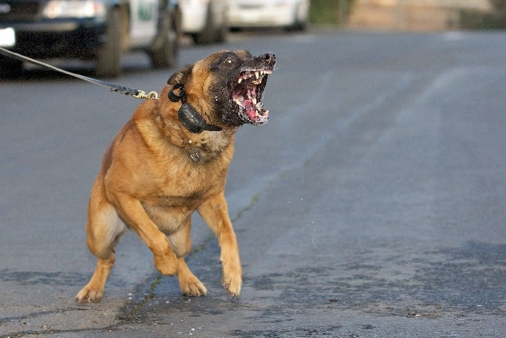 An Agressive Belgian Malinois.