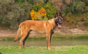 Origin and History of Belgian Malinois.