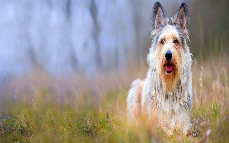 Berger Picard Dog Breed