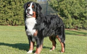 Bernese Mountain Dogs are large breeds.