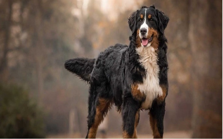 All About Bernese Mountain Dog Breed Origin Behavior