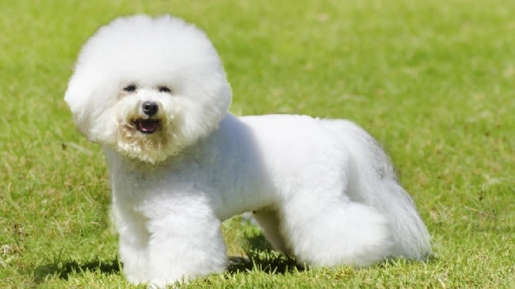 Bichon Friese In The Field.