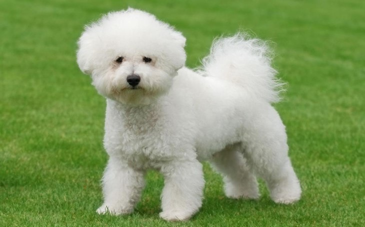 Bichon are little dogs who carries large personality