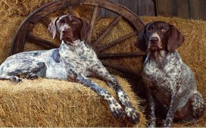 Two Bluetick Coonhound Sitting