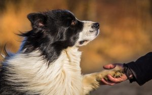 Border Collie Shaking Hand