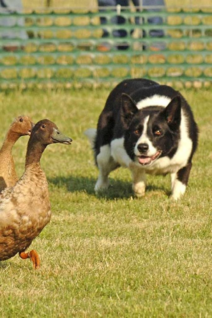 Border Collieee Herding Duck