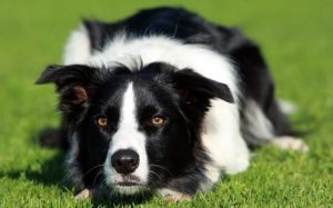 Behavior of Border Collie Dogs