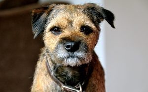 Border Terrier Behavior