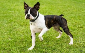 Boston Terrier are Also Known as American Gentleman.