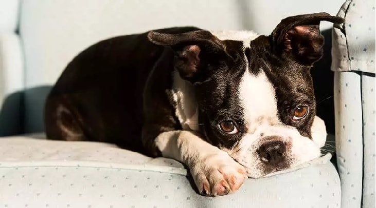 Boston Terrier Showing His Cute Side.