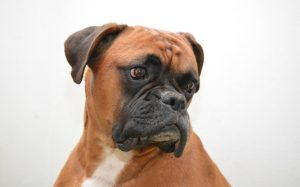 Boxer Dogs are super cute and famous.